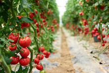 Beautiful Red Ripe Tomatoes Grown In A Greenhouse. Rows Of Ripe Homegrown Tomatoes Before Harvest. Organic Farming.