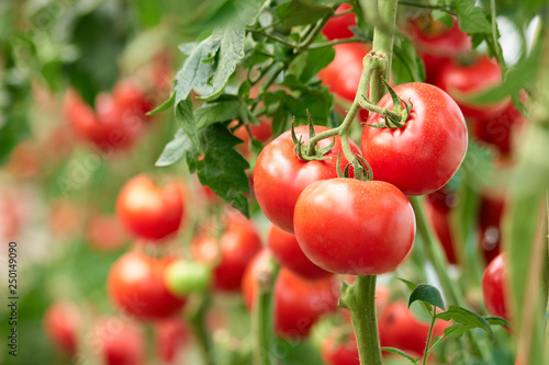 Fototapeta Three ripe tomatoes on green branch. Home grown tomato vegetables growing on vine in greenhouse. Autumn vegetable harvest on organic farm. obraz