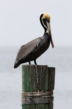 Brown Pelican On The Dock In South Padre Island, Texas