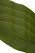 Banana leaf green background Isolated