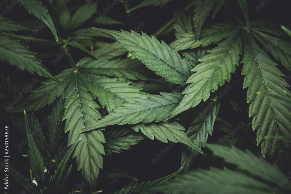 Fototapety, obrazy: Green background of leaves. Young cannabis plant. Cannabis at the beginning of flowering. Northern light strain. Medicinal indica with CBD. In door grow hemp. moody color