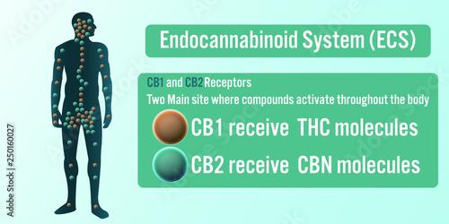 Photo  The Endocannabinoid System (ECS) background.Vector illustration