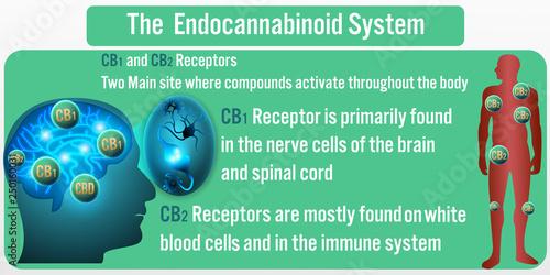 Photo  The Endocannabinoid System background.Vector illustration