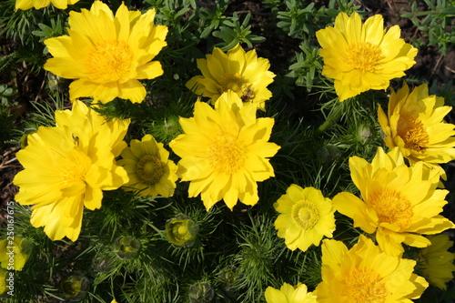 Photo Adonis. Perennial. Medicinal plant