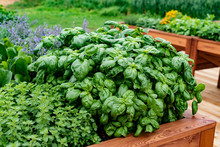 Herb Garden On A Rustic Wooden Table