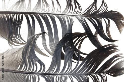 Foto-Lamellen - Black feathers on a white background (von studybos)
