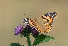 Painted Lady Butterfly (vanessa Cardu) Feeding Nectar From A Thistle