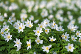 Spring wild flowers of wood anemone in the forest. (Anemone nemorosa). Selective focus.