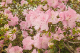 Blooming  pink azalea (rhododendron)  in the greenhouse.