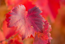 Autumn Grapes With Red Leaves, The Vine At Sunset Is Reddish Yellow