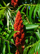 Red Flower With Green Leaves On Blooming Staghorn Sumac, Rhus Typhina, Close-up, Selective Focus, Shallow DOF