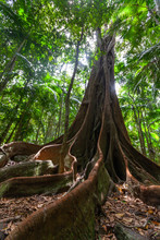 Huge Fig Tree Roots In A Rainf...