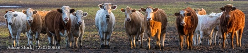 Papiers peints Vache flock of beef cattle in the pasture in early spring in Germany, panorama