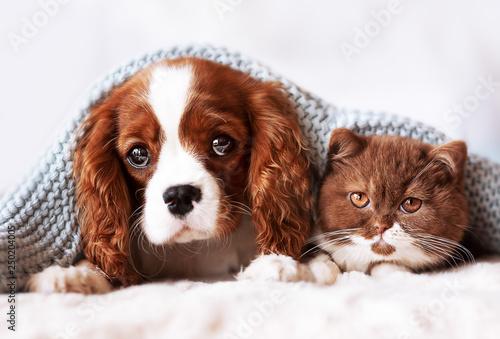 Obraz na plátne Cavalier King Charles Wellpe und BKH Kitten - Freunde