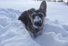 Shepherd German Puppy On Snow