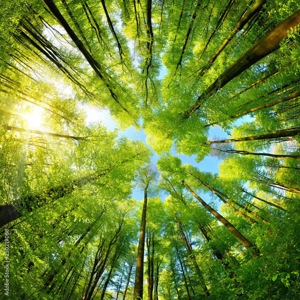 Fototapety, obrazy: Spheric panorama in a forest, magnificent upwards view to the treetops
