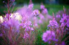 Fireweed Flowers (Epilobium Angustifolium) In Summer Evening Light. Soft Focus Image.