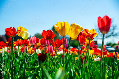 field of red and yellow tulips.
