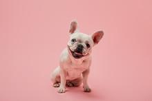 Small French Bulldog With Dark...