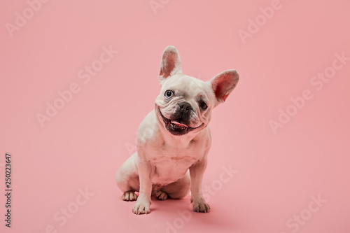 Poster Bouledogue français small french bulldog with dark nose on pink background
