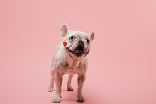 French Bulldog With Red Heart On Muzzle And Black Nose On Pink Background