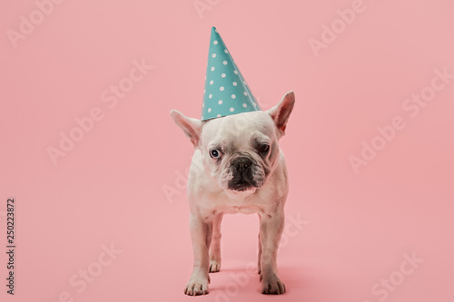 Staande foto Franse bulldog french bulldog with blue birthday cap on pink background