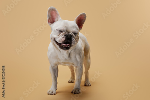 Poster Bouledogue français french bulldog with closed eyes on beige background