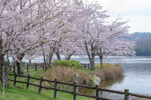 Fototapety, obrazy: full blooming of cherry blossom in Japan
