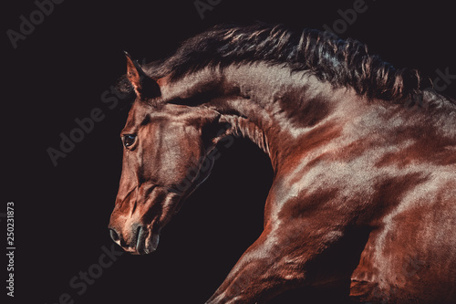 Poster Paarden Brown warmblood mare in action with black background