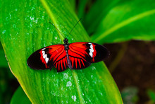 Postman Butterfly (heliconius ...