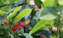 The Butterfly On Red Flowers With Blur Green Nature Background.