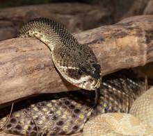 Eastern Diamondback Rattlesnak...
