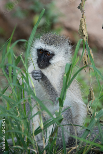 Fotografie, Obraz  Young vervet monkey eating some food it found in Tanzania, Africa