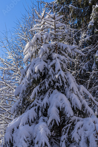 Fotografía  Snow-covered winter spruce forest
