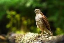 Eurasian Sparrowhawk (Accipite...