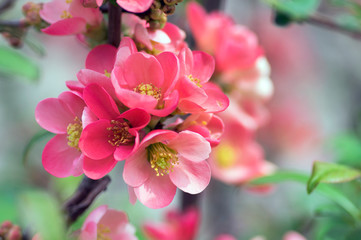 Obraz na Szkle Do sypialni Ornamental shrub Chaenomeles japonica cultivar superba with beautiful light pink petals and yellow center