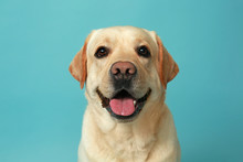 Cute Labrador Retriever On Col...