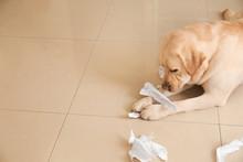 Cute Labrador Retriever Playin...
