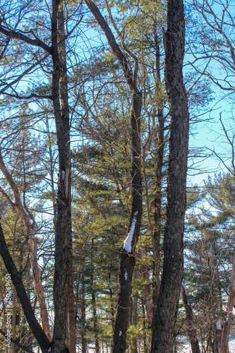 crooked trees and light blue sky