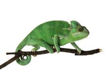 Cute Green Chameleon On Branch...