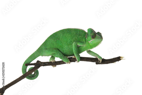 Photo sur Aluminium Cameleon Cute green chameleon on branch against white background