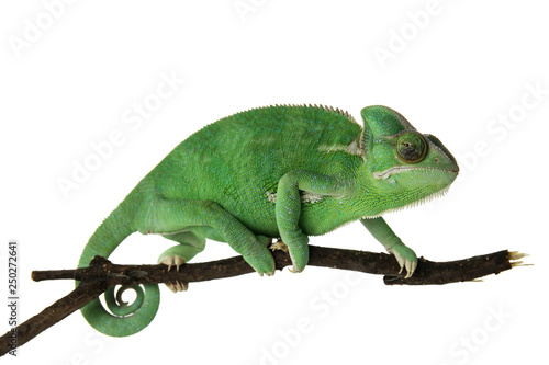 Papiers peints Cameleon Cute green chameleon on branch against white background