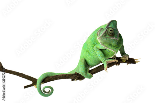 Tuinposter Kameleon Cute green chameleon on branch against white background