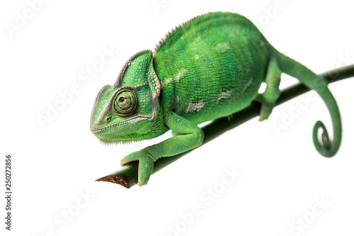 Spoed Foto op Canvas Kameleon Cute green chameleon on branch against white background