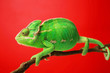 Cute green chameleon on branch against color background