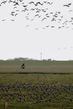 Birds Soar. Lots Of Birds In The Air. Migratory Birds. Migration Of Animals.