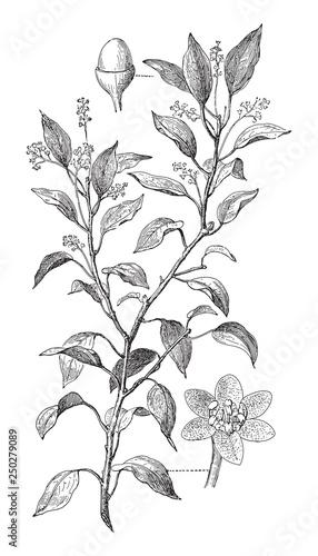 Slika na platnu Camphor tree - Cinnamomum Camphora (Medicinal plant) - Vintage illustration from