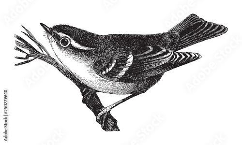Photo Yellow-browed Warbler (Phylloscopus inornatus) / vintage illustration from Meyer