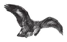 Ring Tailed Eagle (Aquila Fulva) / Vintage Illustration From Brockhaus Konversations Lexikon 1908