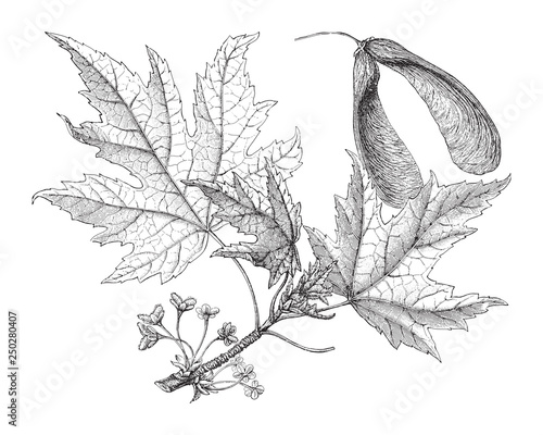 Fotomural Silverleaf maple (Acer saccharinum) / vintage illustration from Meyers Konversat
